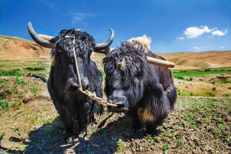 Download Yaks ready for ploughing stock photo. Image of horns - 26478122