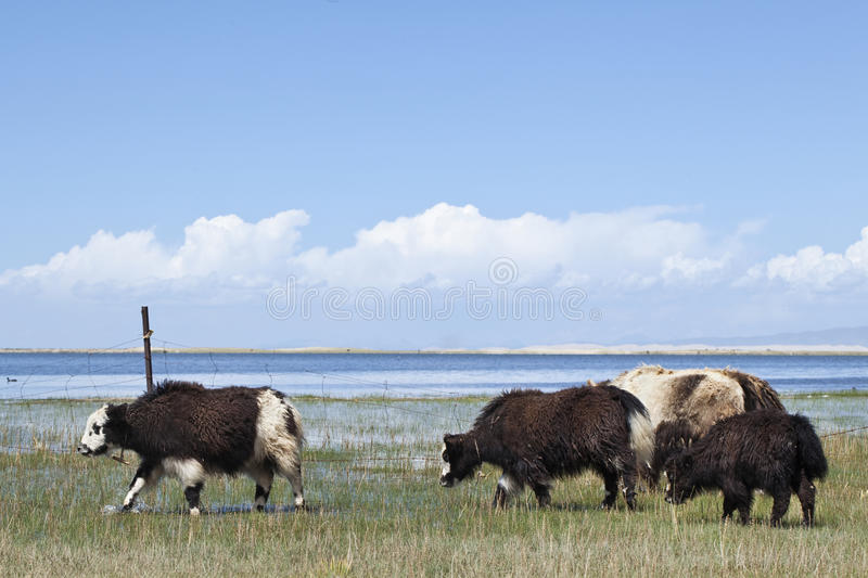 Yaks at the shore of Qinghai Lake. Yaks in a field at the shore of Qinghai Lake stock photos