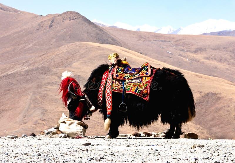 Yaks tibétains image stock
