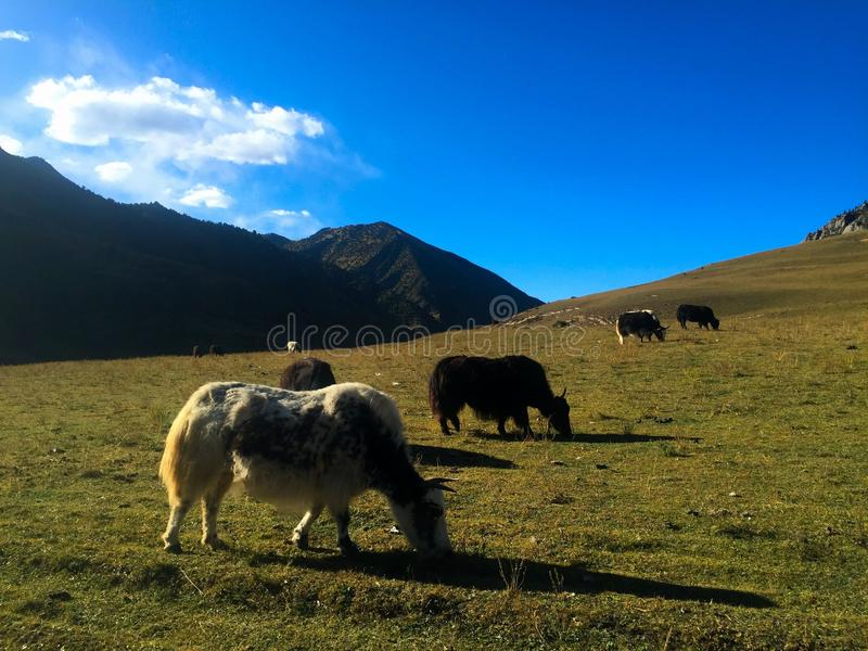 The Yaks in Tibet stock photography