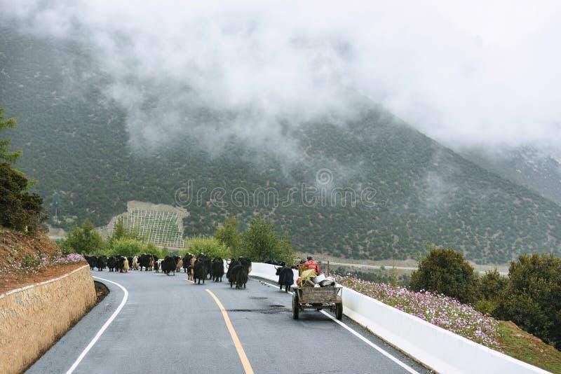Yaks waiking na drodze przy Yading obrazy stock