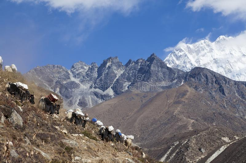 Yaks on the way to Everest Base Camp, beautiful sunny weather and spectacular views stock photography