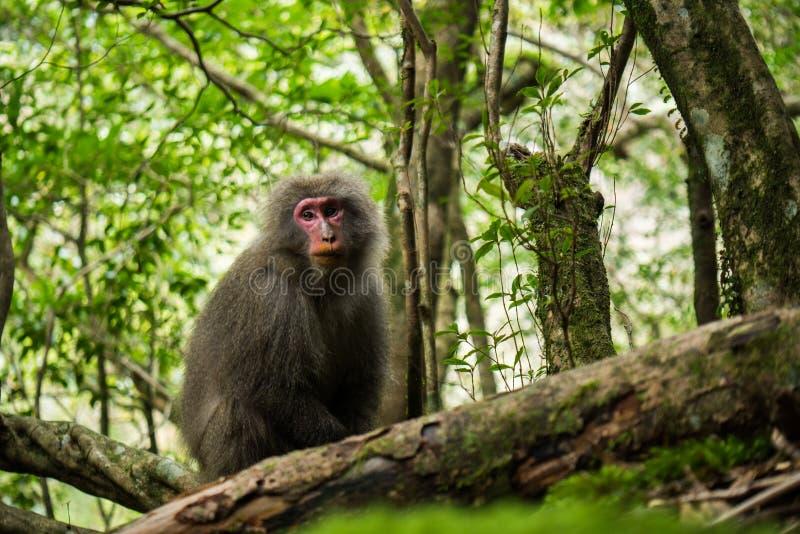 Yaku macaque arkivbild