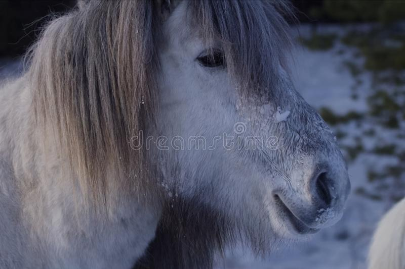 Yakut horses in the winter in the snow. The breed of Yakut horses royalty free stock photo