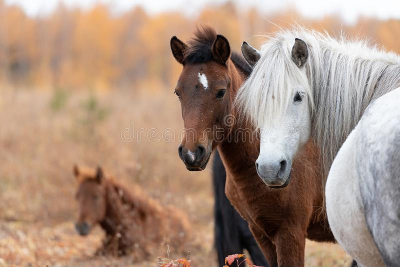 Close up of wild yakutian horse family with lying colt. Yakutian horse family grazing in a meadow at autumn. Two foals do not leave their mother and look at me royalty free stock photography