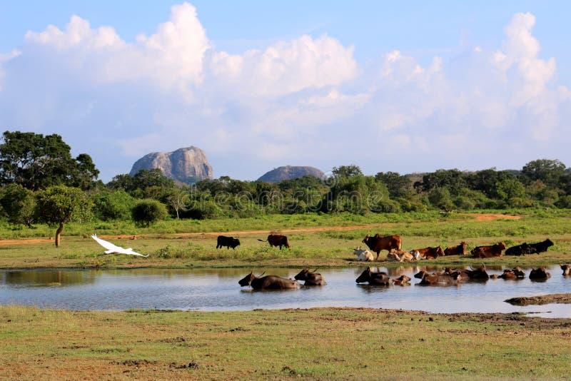 Yala park narodowy w Sri Lanka, z ptakami i bydłem zdjęcie stock