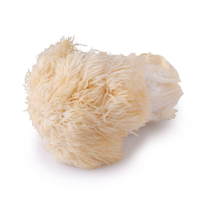 Yamabushitake蘑菇或狮子鬃毛蘑菇被隔绝在白色背景 库存图片