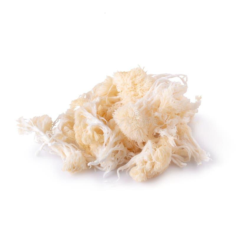Yamabushitake-Pilz oder Löwemähnenpilz lokalisiert über weißem Hintergrund lizenzfreie stockfotos