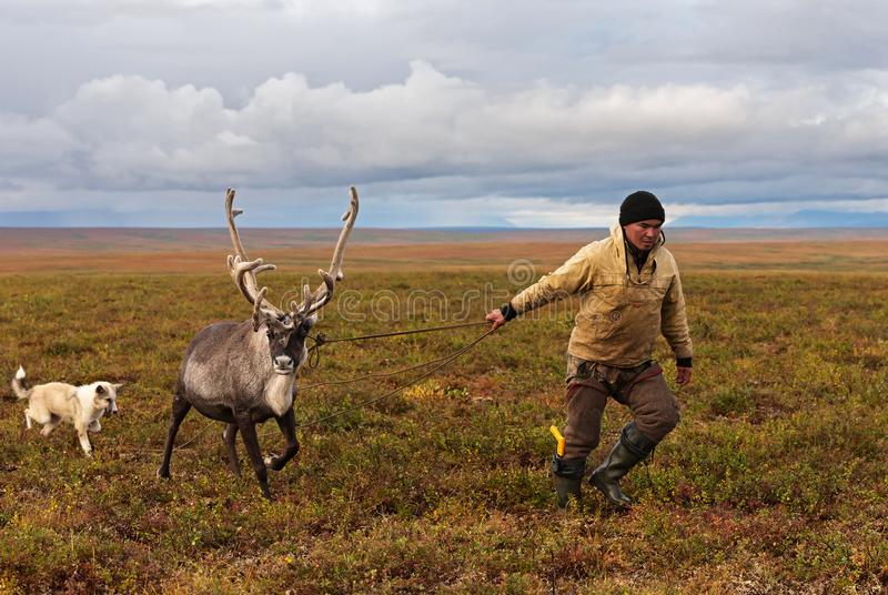 Nomad shepherd catches reindeer by lasso during migration. stock photo