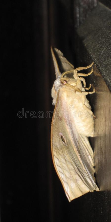 Yamamai del Antheraea della farfalla di Yamamai immagine stock