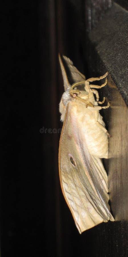 Yamamai för Yamamai fjärilsAntheraea fotografering för bildbyråer