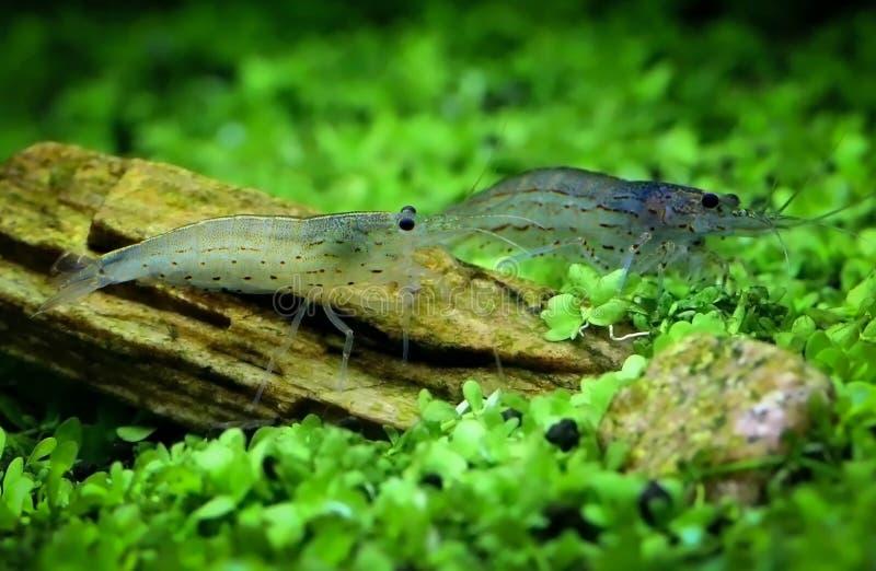 Yamato shrimp. In a planted tank stock photos