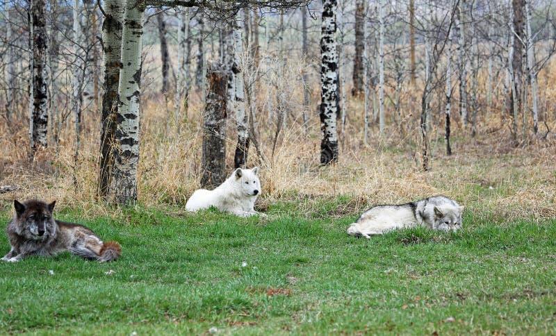 Three Wolfdogs stock image