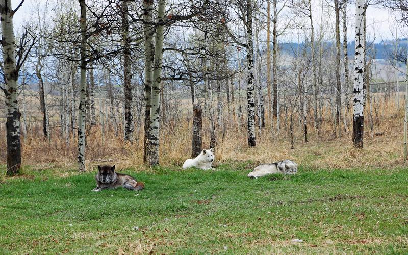 Three wolfdogs - a pack royalty free stock photos
