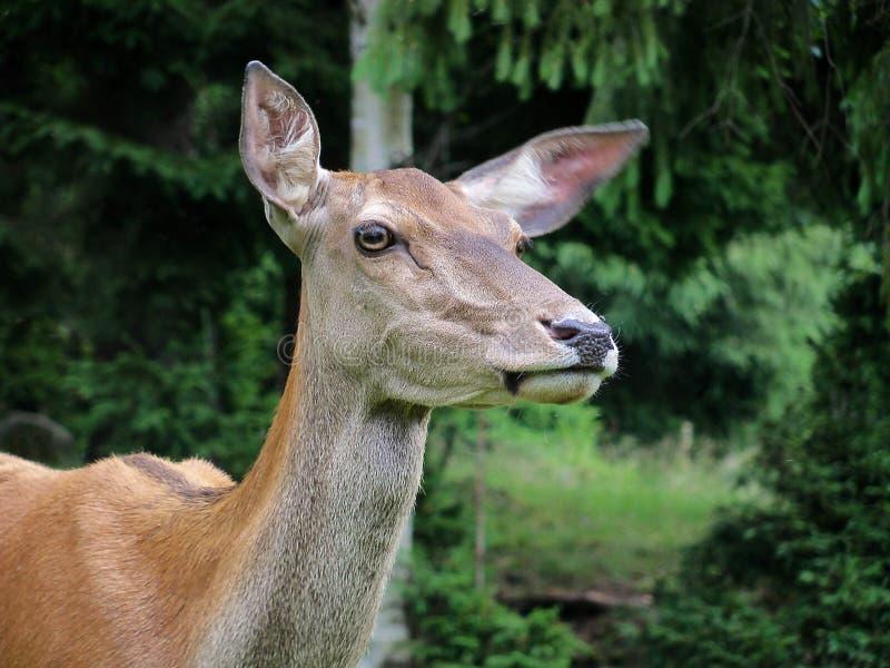 Yang Deer photographie stock