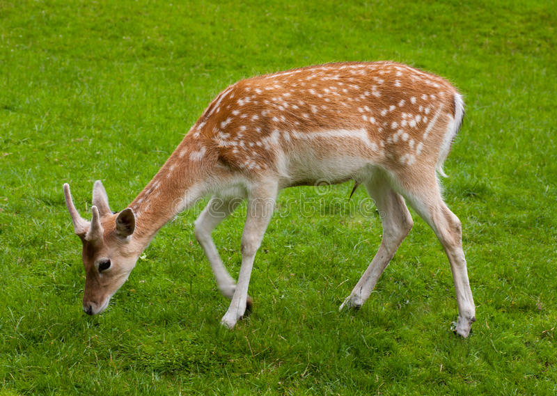 Yang Male Deer And Green Grass Stock Photo - Image of ...
