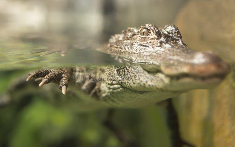 Yangtze Alligator. A China Yangtze river alligator floating in water stock photos