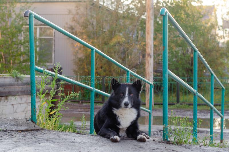 The yard dog in the Northern village lies on the stairs looking directly. stock photos