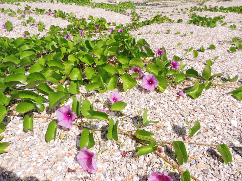 Yard of Ipomoea pes-caprae or Bayhops or Goat`s foot or Beach morning glory flower. Yard of Ipomoea pes-caprae or Bayhops or Goat`s foot or Beach morning glory royalty free stock photo