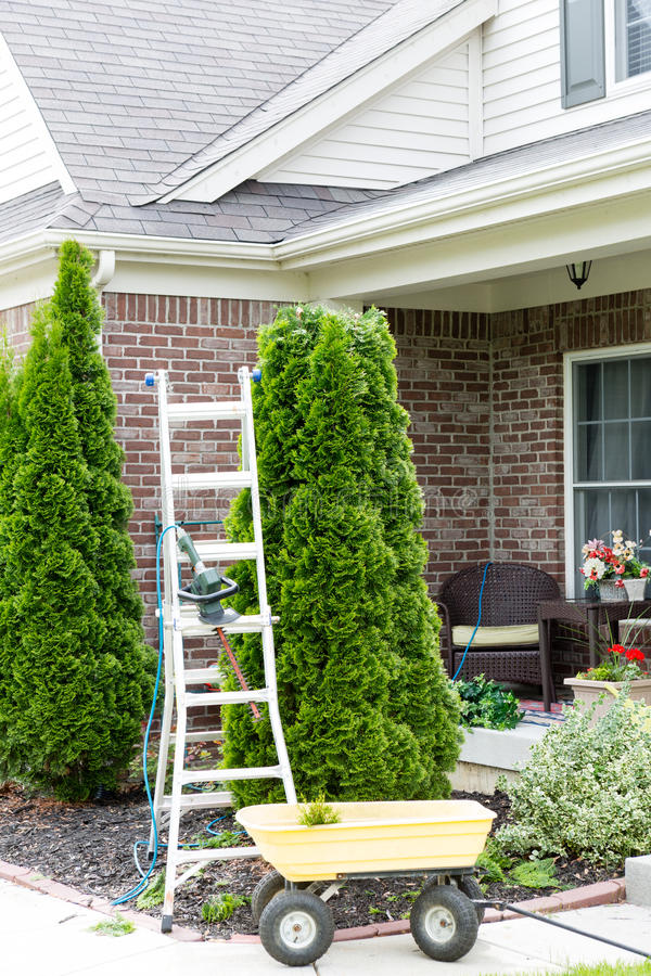 Yard work around the house. With a stepladder standing alongside an Arborvitae or Thuja tree with a small yellow metal cart for removing the branches trimmed stock photo