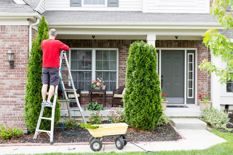 Yard work around the house trimming Thuja trees. Or Arborvitae with a middle-aged man standing on a stepladder using a hedge trimmer to retain the tapering stock photography
