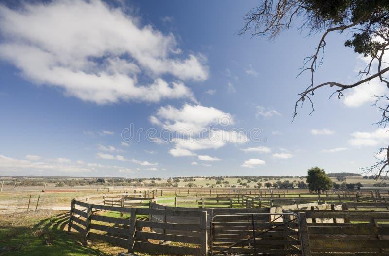 Yardas del ganado de Australia imagenes de archivo