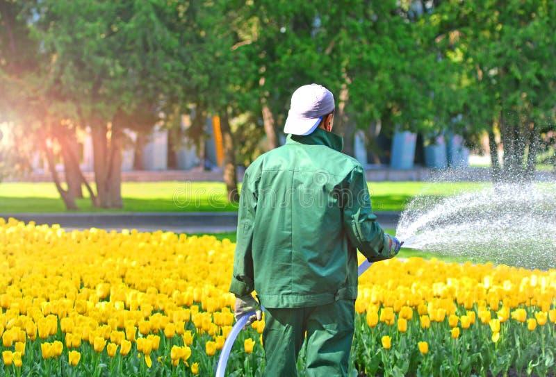 Yardman van de parkdienst met tuinslang het water geven tulpen stock foto's