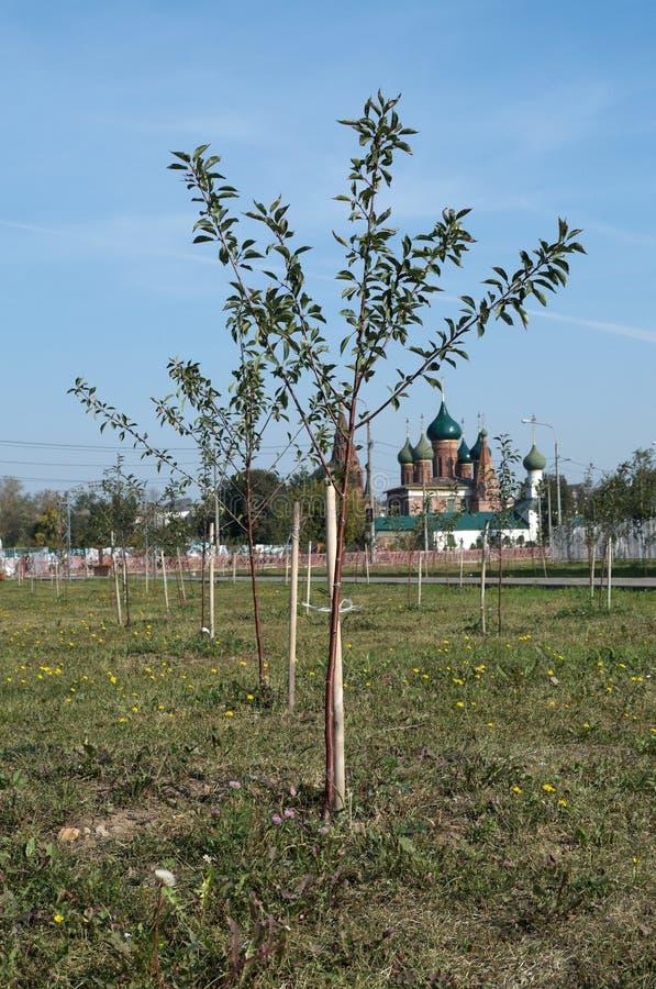 YAROSLAVL, RÚSSIA - 8 DE SETEMBRO DE 2018: árvores no parque oposto à igreja fotografia de stock