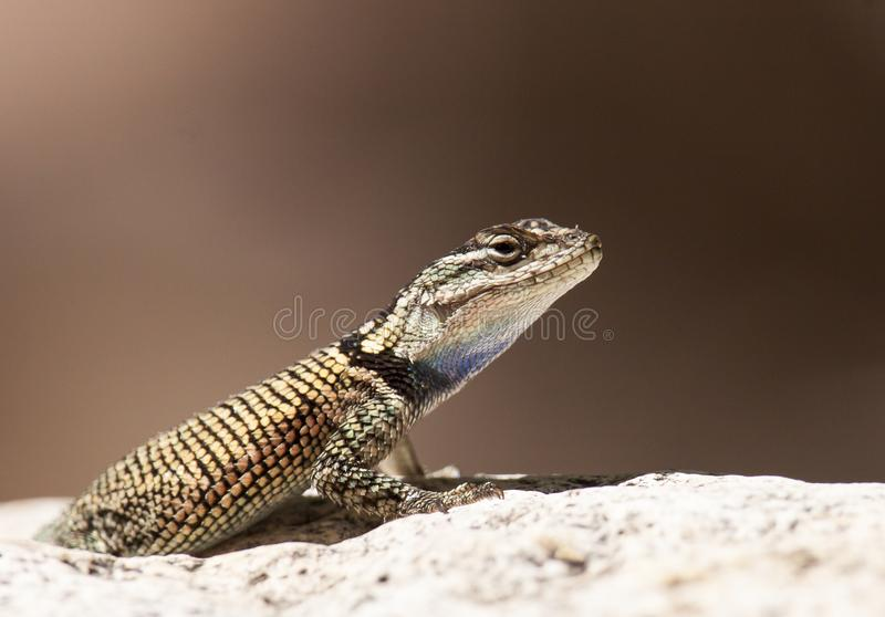 Yarros spiny lizard. Close-up of Yarrows spiny lizard with distinctive black band stock photo