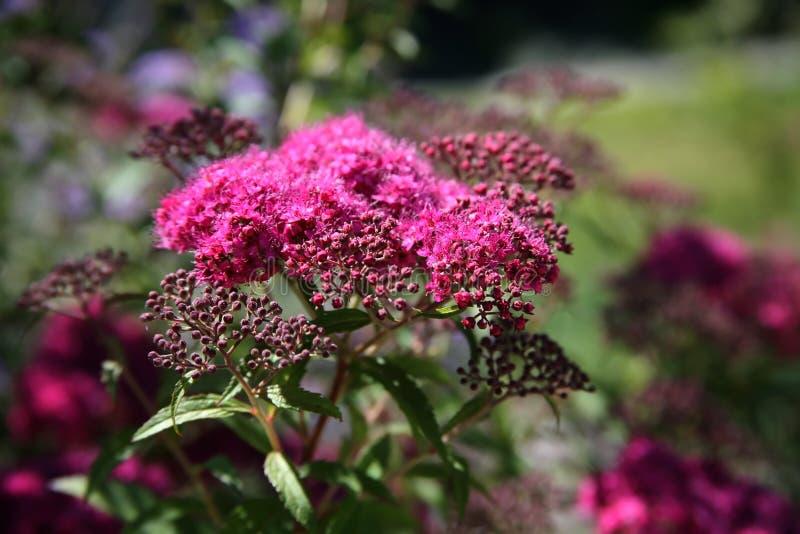 yarrow цветков розовый стоковые фото