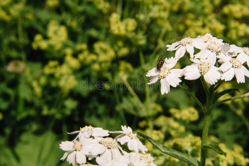 Yarrow, Achillea millefolium, or Cutting grass perennial herb. Medicinal, spicy, ornamental and honey plant stock photo
