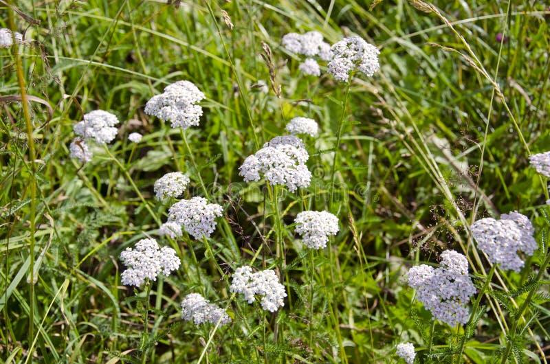 Yarrow comum da erva médica (Achillea Millefolium) imagens de stock royalty free