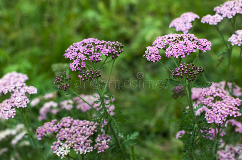 Yarrow cor-de-rosa imagens de stock