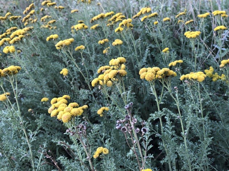 Yarrow cura amarelo que floresce no campo verde fotos de stock
