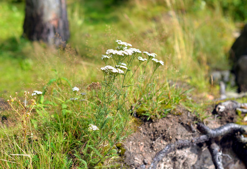 Yarrow flowers in summer forest. royalty free stock photo