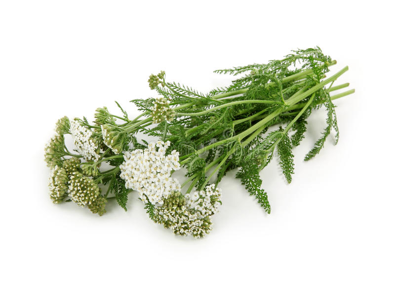 Yarrow herb royalty free stock image
