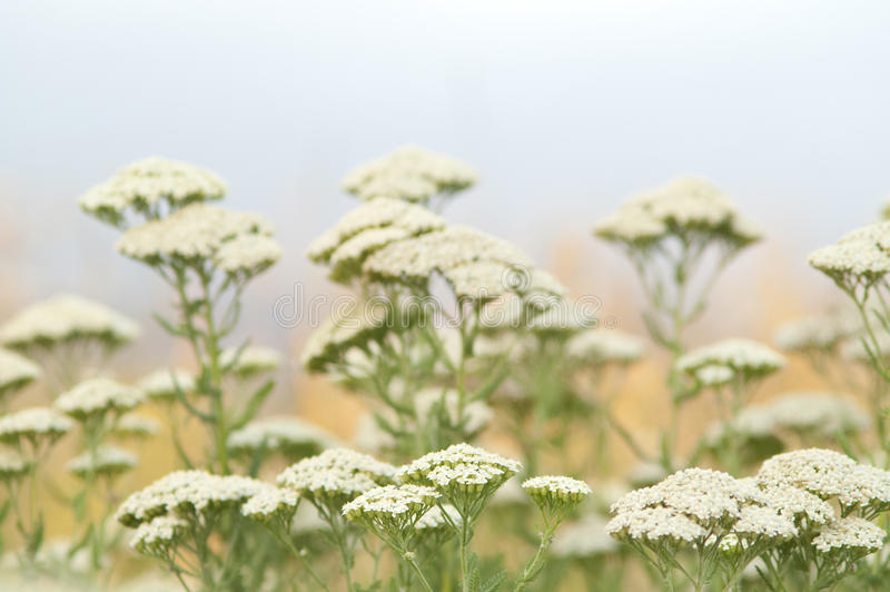 Yarrow herb royalty free stock images
