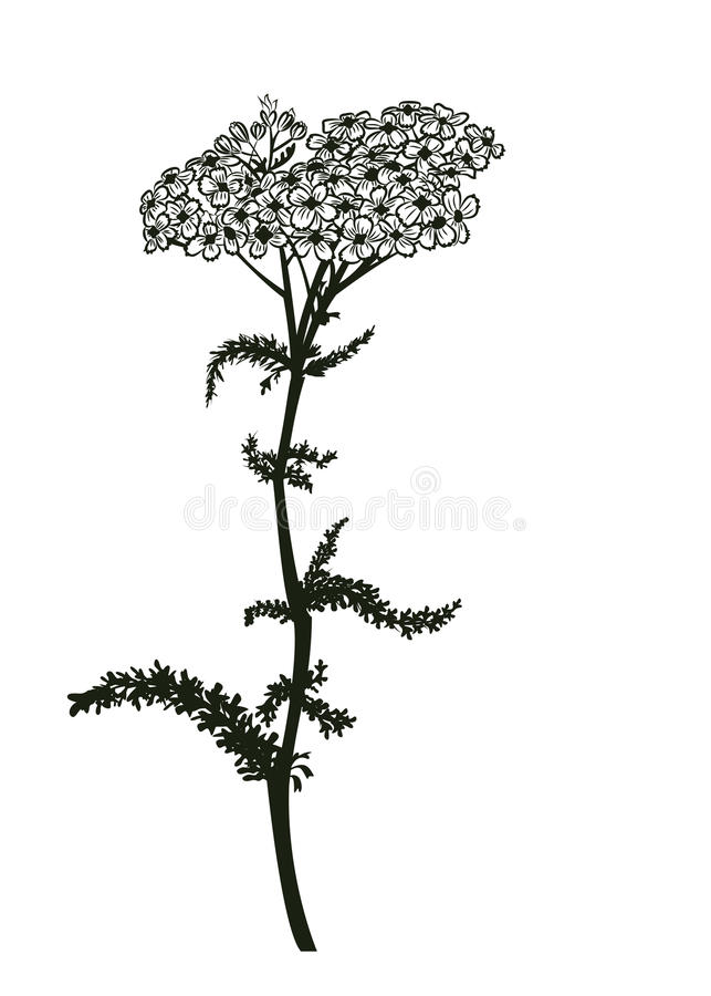 Yarrow stock illustration
