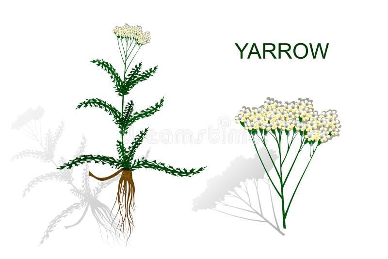 Yarrow, milfoil Βοτανικά φάρμακα διανυσματική απεικόνιση