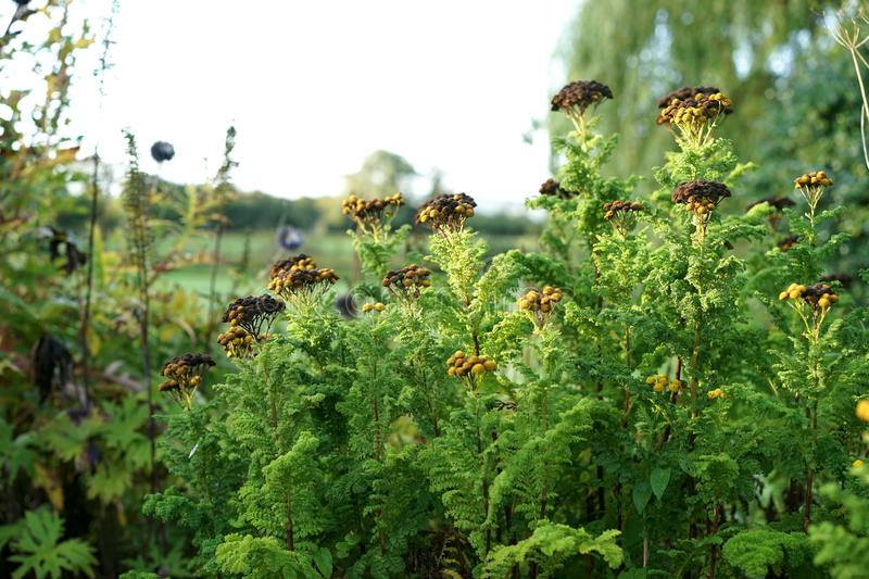 Yarrow offers antibacterial and wound healing properties stock photography