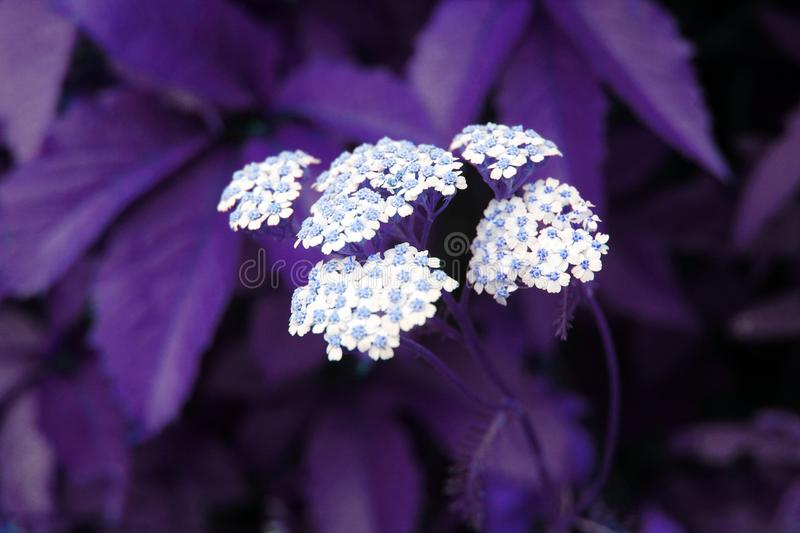 Yarrow. Perennial herb medicinal plant. Beautiful summer background royalty free stock photography