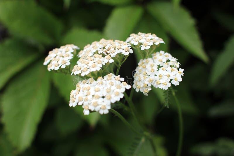 Yarrow. Perennial herb medicinal plant. Beautiful summer background royalty free stock photo