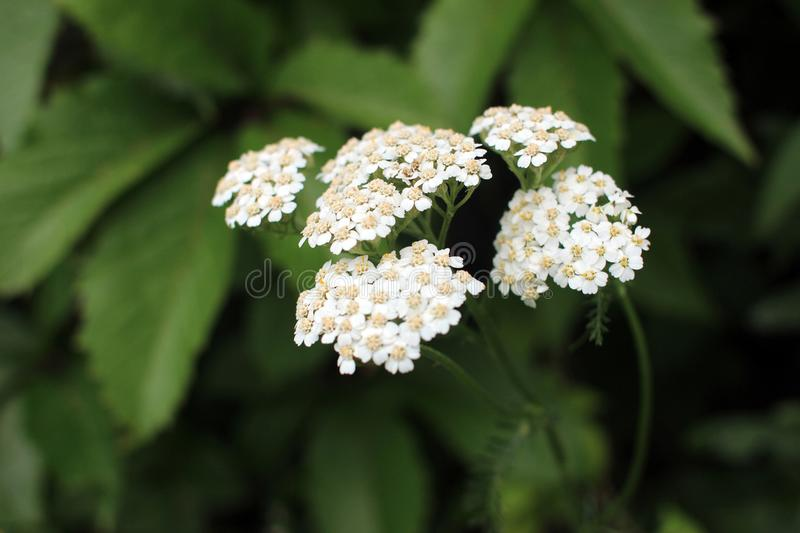 Yarrow. Perennial herb medicinal plant. Beautiful summer background stock images