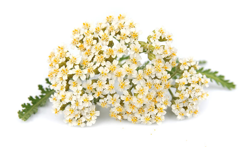 Yarrow plant. With white flowers stock images