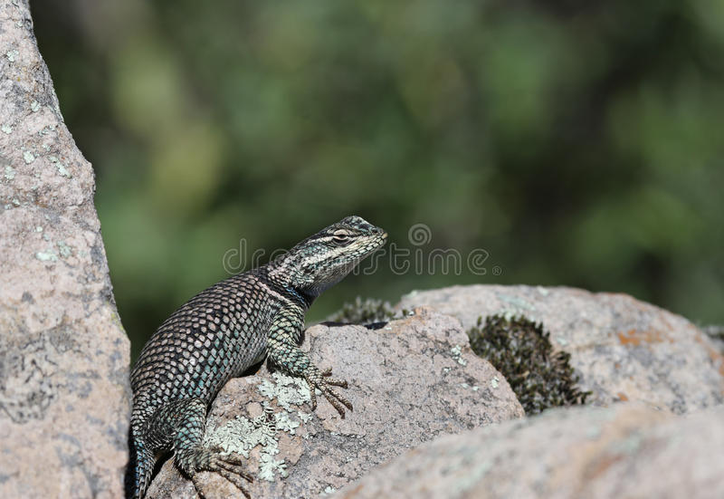 Yarrow's Spiny Lizard Profile. A Yarrow's Spiny Lizard (Sceloporus jarrovii), shot in Madera Canyon, in the Santa Rita Mountains, located in Arizona, United royalty free stock photos