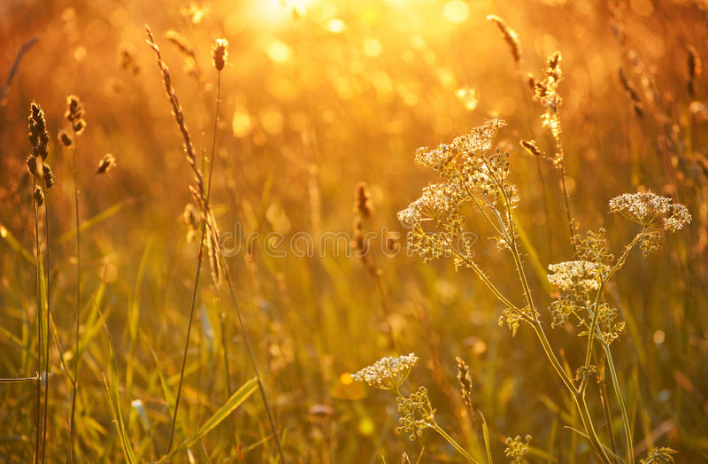 Yarrow in sunset royalty free stock photo