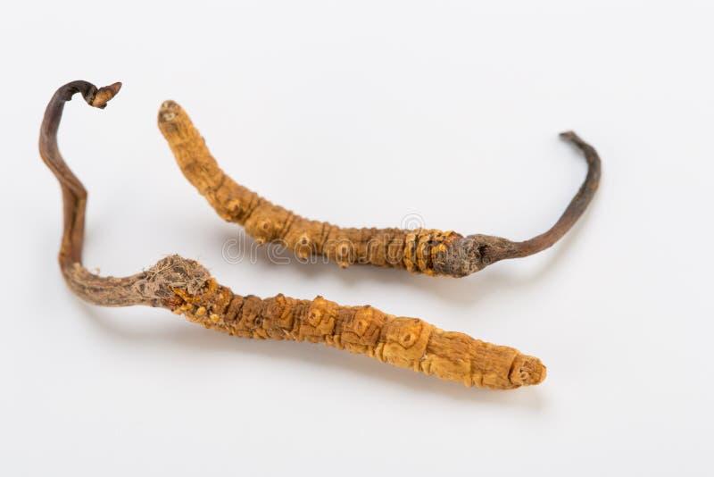 Yarsagumba Cordyceps sinesis Yartsa Gunbu himalayan gold Nepal in white background. Yarsagumba Ingredient used in Traditional Chinese Medicine Yartsa Gunbu on stock image