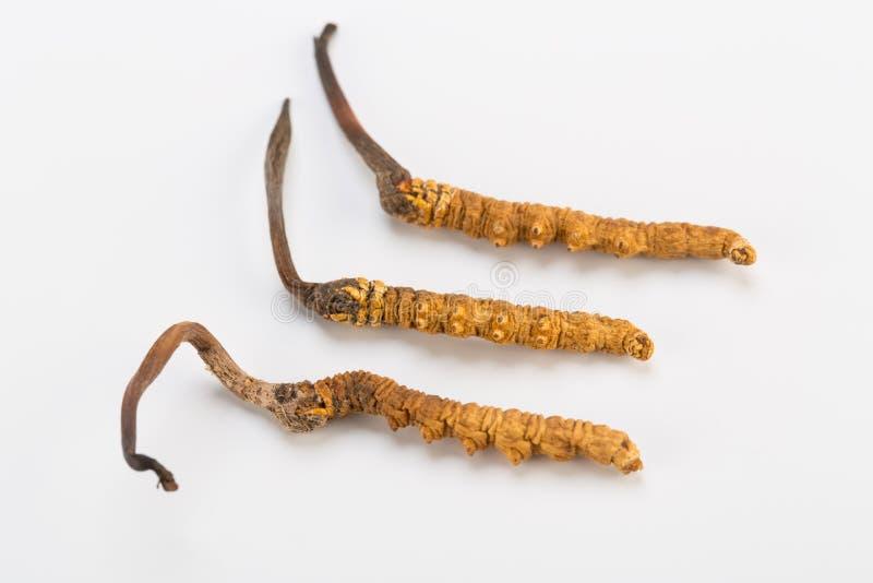 Yarsagumba Cordyceps sinesis Yartsa Gunbu himalayan gold Nepal in white background. Yarsagumba Ingredient used in Traditional Chinese Medicine Yartsa Gunbu on stock photography