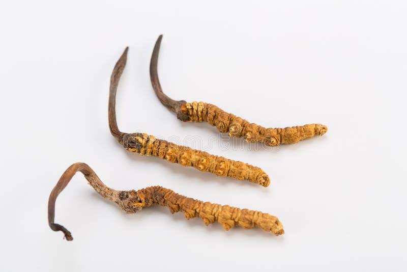 Yarsagumba Cordyceps sinesis Yartsa Gunbu himalayan gold Nepal in white background. Yarsagumba Ingredient used in Traditional Chinese Medicine Yartsa Gunbu on royalty free stock images