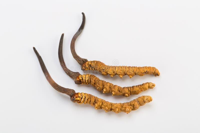 Yarsagumba Cordyceps sinesis Yartsa Gunbu himalayan gold Nepal in white background. Yarsagumba Ingredient used in Traditional Chinese Medicine Yartsa Gunbu on stock images